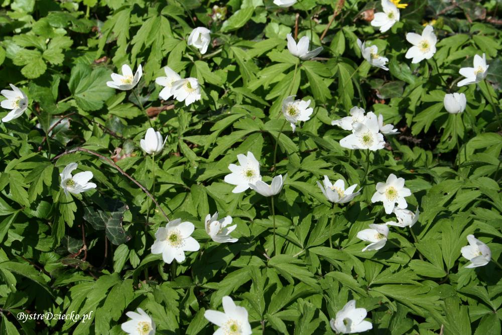 Zawilec kwitnący w kwietniu, Grabiszyn-Grabiszynek, Park Grabiszyński we Wrocławiu