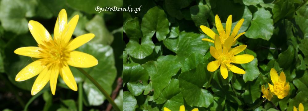 Ziarnopłon wiosenny kwitnący w kwietniu, Grabiszyn-Grabiszynek, Park Grabiszyński we Wrocławiu