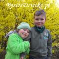 Forsycja kwitnąca w kwietniu, Grabiszyn-Grabiszynek, Park Grabiszyński we Wrocławiu