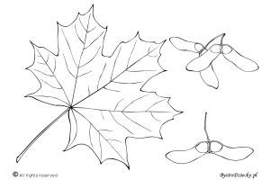 Norway maple – autumn coloring pages for kids